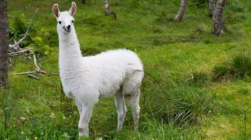 Protein from llamas will be replicated in a laboratory and, in the long-term, could form part of the solution to phase out the therapeutic use of zinc. Photo: Colourbox